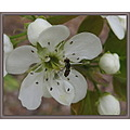 The pear tree on the front lawn is in bloom again.  Still lots of blossoms to open.  By just blin...