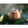 Quince fruit tree garden home andalucia spain