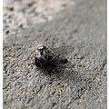 Small wall spider with fly..