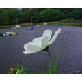 Cosmos at Rudyard lake