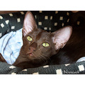 Cat Oriental Shorthair Havana