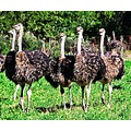 Animals Ostriches