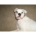 Boxer white dog canine lulu