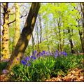 bluebells forest woodland spring