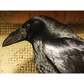 New Raven, came in yesterday with a broken wing. Vet has wrapped the wing and sent her home to me...