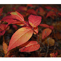 Autumn leaf plant leaves red yellow orange tree