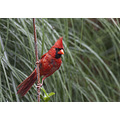 Male cardinal bird yard visitor red