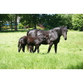 Friesian Horses Mother and son