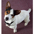 dog jack russell pets