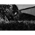 cat nature eyes animal black