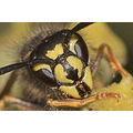 Macro wasp portrait
