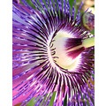 passion flower macro garden home andalucia spain