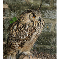 14. As well as hawks, he had a few owls - this one I think is a Tawny...