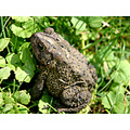 toad macro nature wallpaper background
