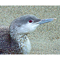 Storm Casualty - Pacific Loon - was rescued, given an injection of steroids and released. Jan 5 2008