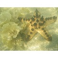 starfish sea plant tide benoa bali littleollie