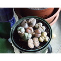 succulents living stones Lithops