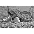 India Darjeeling tea harvest bw