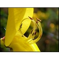 flower broom insect