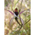 spider orchid flower plant