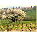 Tree nature village France spring april landscape cherrytree wineyard
