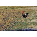chicken rooster bird roncarlin nature