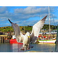 seagull padstow Cornwall