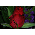flower plant usa us missouri stlouis rose red macro 2006