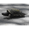 snapping turtle reptile road crossing large big presquile land walking