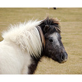 babyfriday dartmoor pony