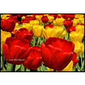 stlouis missouri us usa landscape plants flower macro tulip yellow red bh 2008