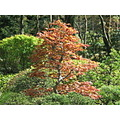 maple of Hakone in Japan