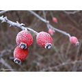frost fruit autumn