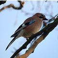 jay birds wildlife london