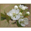 This is just another (different) pear tree blossom cluster.  I like it better than the previous p...