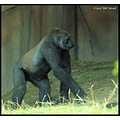 stlouis missouri us usa zoo animal westernlowland gorilla 2007