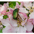 rose chafer beetle apple blossom bideford devon
