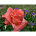 rose flower nature