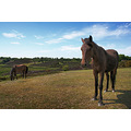 new forest pony england horse hampshire country countryside animal