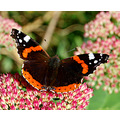 butterfly sedum red admiral