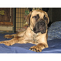 EnglishMastiff mastiff dog pet puppy Niagara