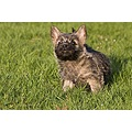 cairn terrier dog dogs