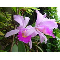 Orchid Catleya Colombian National Flower