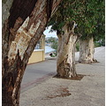 kos greece eucalyptus trees nature