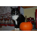 animal cat pet wild kitty pumpkin