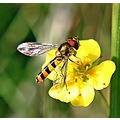 macro fly hoverfly insect