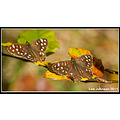 Natural History Wildlife Nature Butterflies Speckled Wood Autumn Spideyj