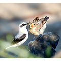 wheatear male chick feeding carlsbirdclub northam burrows