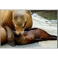 zoo emmen holland sealions baby
