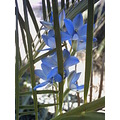 Blue Lady Orchid Zamia Palm Flower Plant